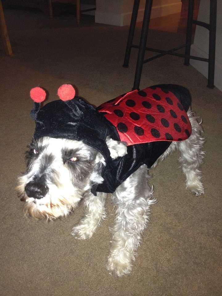 Zoey the Bumblebee Dog. Photo shared by Katy Knobel Mufich.