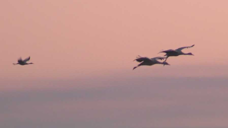 Sandhill Cranes fly into the Delta in Lodi on Friday, Nov. 6, 2015, as part of the annual migration event.