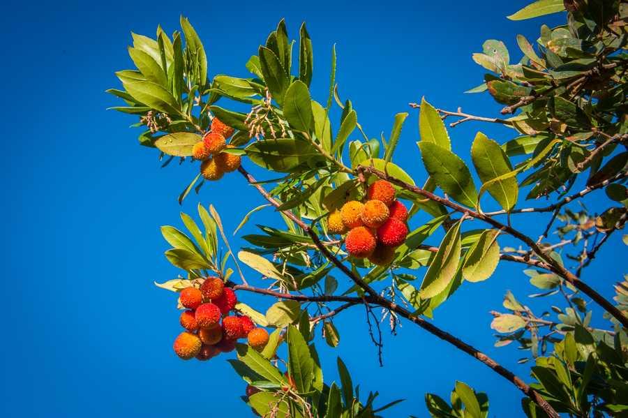 Strawberry tree in El Dorado Hills, Calif.