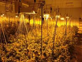 Manteca police found $8.4 million worth marijuana in a grow operation inside of a commercial warehouse on Thursday, Nov. 12, 2015. Police said there were 584 mature plants inside.Get the full story on the pot bust here.
