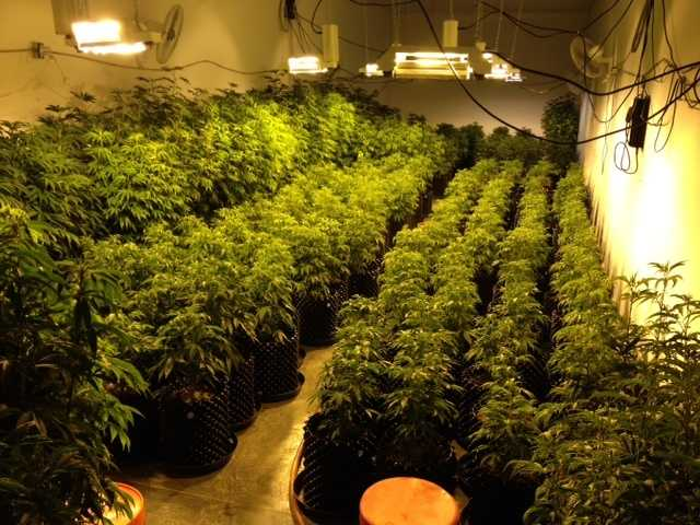 Manteca police said officers found  were 584 mature plants inside a commercial warehouse on Thursday, Nov. 12, 2015.