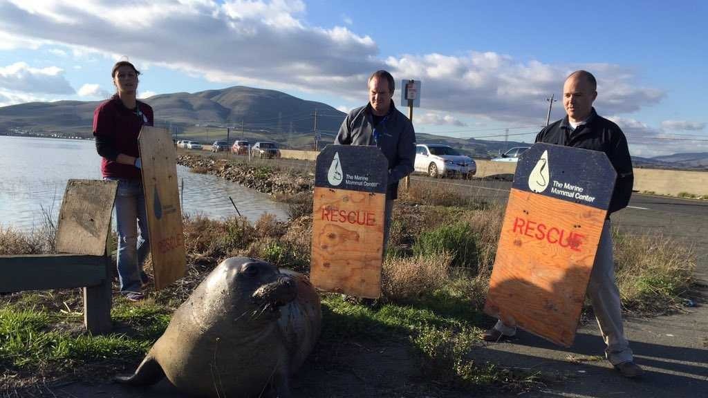 Crew from the Marine Mammal Center works to keep a 500-pound female elephant seal from crossing Highway 37 near Sears Point in Sonoma on Monday, Dec. 28, 2015. The California Highway Patrol said the seal continuously tried to cross the highway.
