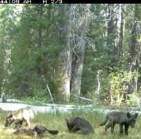 #California has a wolf pack again! Since the state's gray wild population went extinct in 1924, there hasn't been a pack in the state. But CA Dept. of Fish and Wildlife camera captured five puppies and two adults -- nicknamed the Shasta pack -- in Siskiyou County. Photo: CA Dept. of Fish and Wildlife // #wolves #siskiyoucounty #fishandwildlife #shastapack #ca #norcal #sacnews #kcra #kcra3