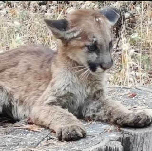 Meet Fireclaw! We know it's #puppytuesday, but we're going to use this little guy instead. Animal rescuers searching for dogs in the evacuated area of the #ButteFire discovered this mountain lion cub, whose paws were burned and hair on his face was singed. He was taken to an animal hospital for treatment. Good news amid the devastation. To be featured on next week's Puppy Tuesday, use #puppytuesday and tag @kcranews! Photo: Bobbie Carne // #calaverascounty #amadorcounty #cawildfires #mountainlion #wildlife #KCRA #KCRA3 #goodnews