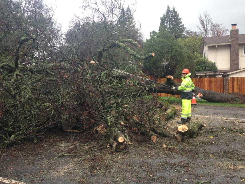 A giant oak tree blocks Diamond Oaks Road in Roseville. (Jan. 19, 2016)