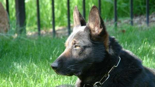 Sacramento County Sheriff's Department announced that retired K9 Ike passed away on Monday.