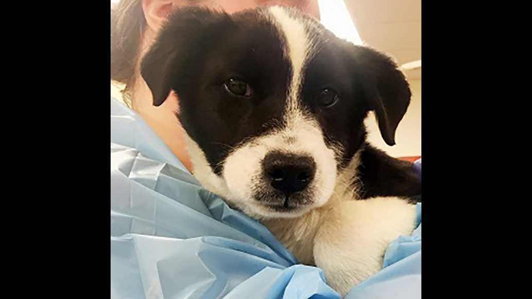 A border collie puppy, 4 months old, was rescued with five other puppies from a dumpster last week, the San Francisco SPCA said on Tuesday, Feb. 2, 2016.