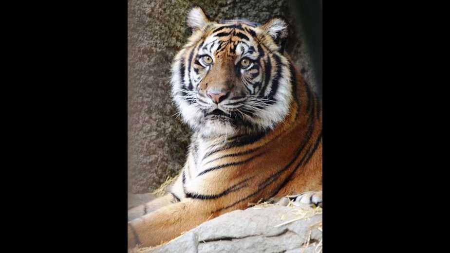 Baha, a 15-year-old Sumatran Tiger, died Wednesday, Feb. 10, 2016, after she was attacked by her mating partner.