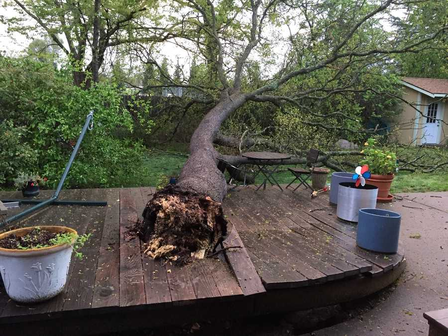 High winds Saturday caused this large oak tree to come crashing down in Carmichael.