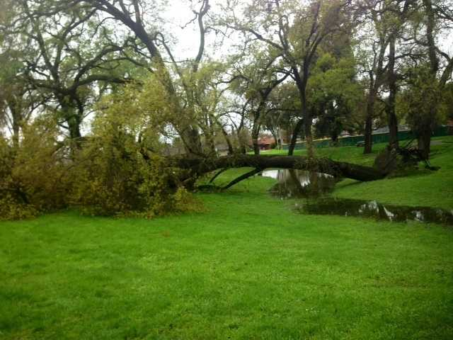A large tree came crashing down at Gibbons Park on Hammer Lane in Stockton during the weekend storm.