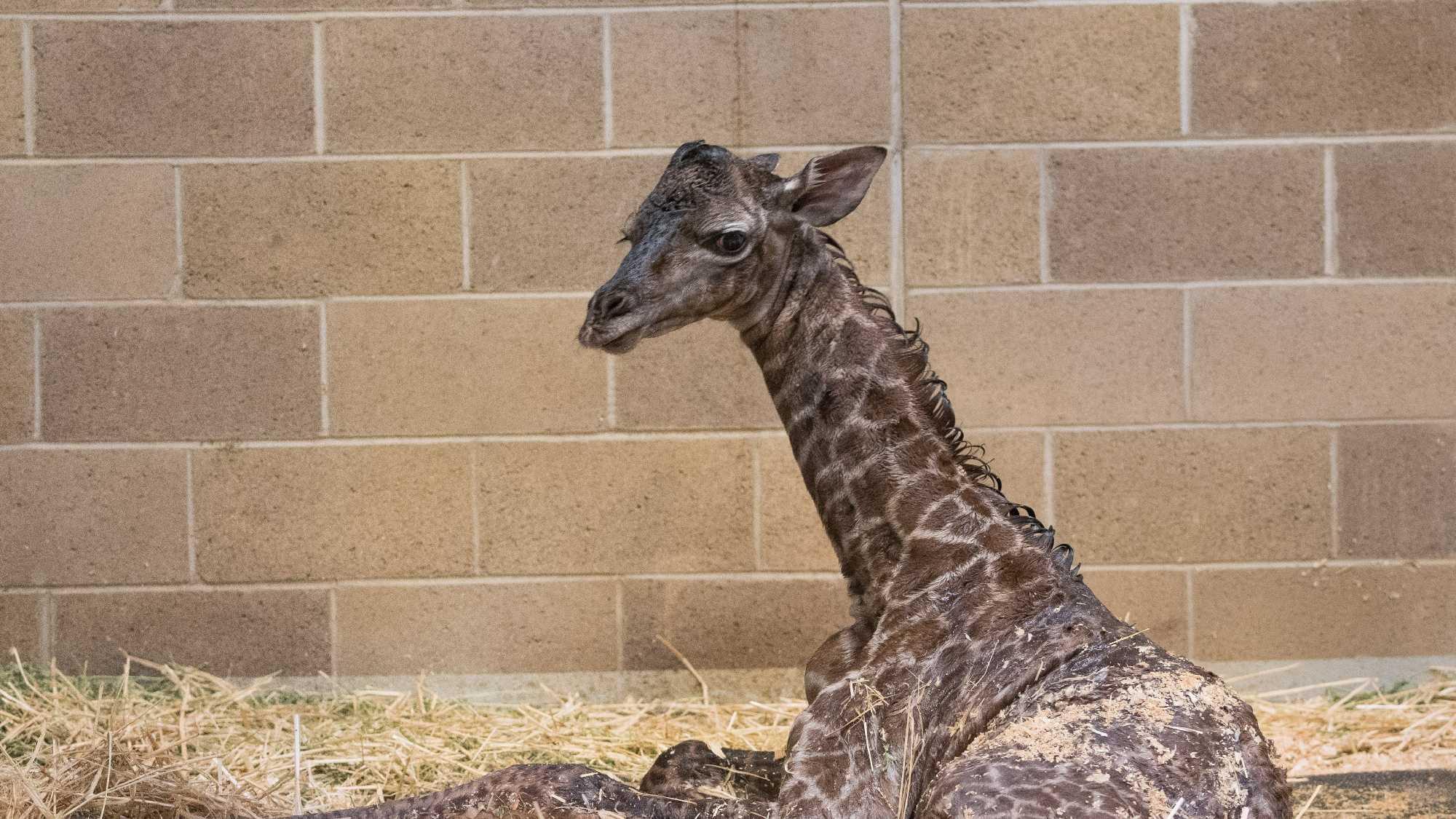 Masai was born at the Sacramento Zoo on Sunday, April 10, 2016.