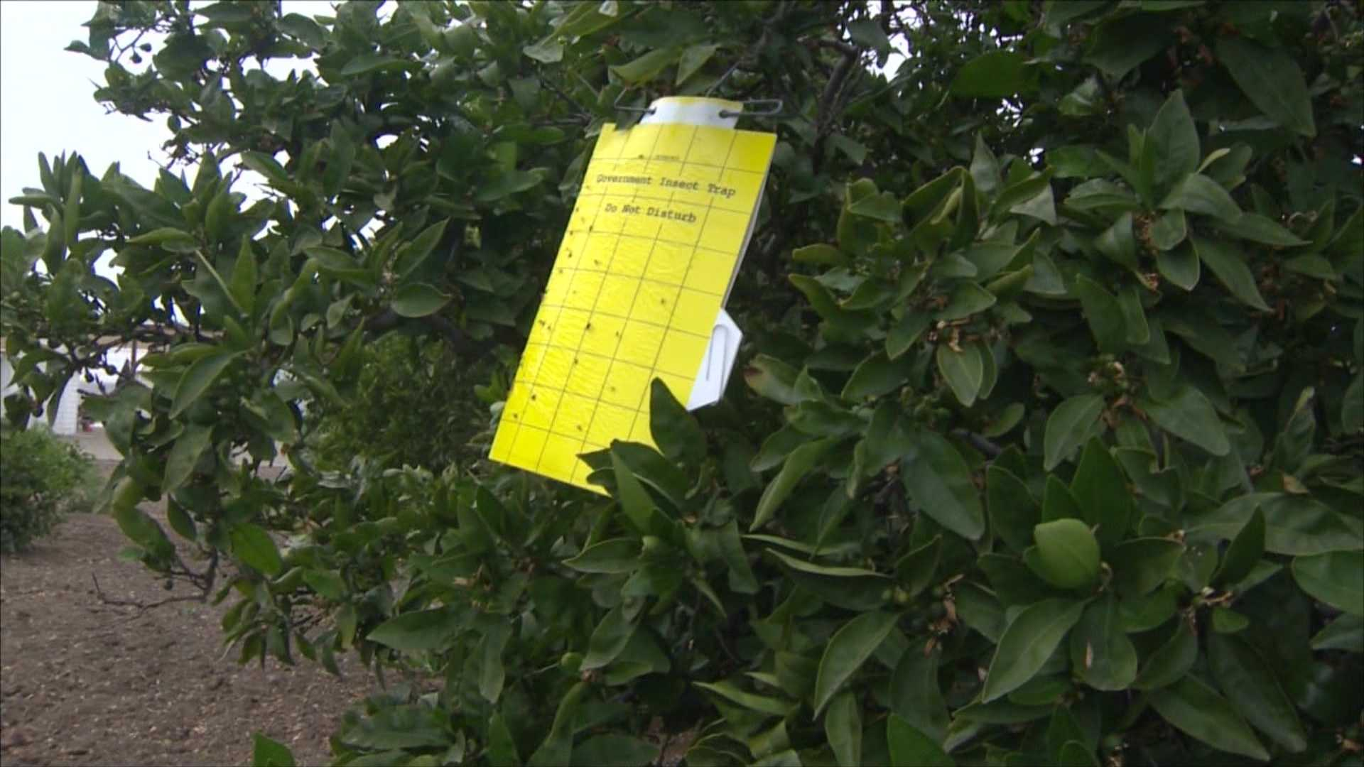 Insect traps placed on Tracy citrus trees hope to lessen the threat of the Asian Citrus Psyllid.