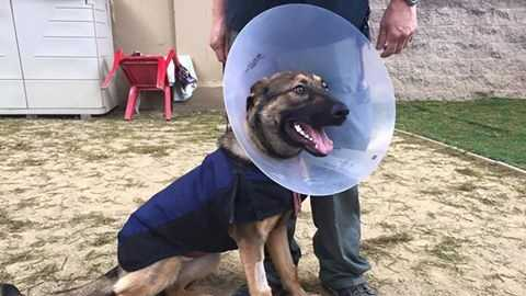 A one-year-old German Shepherd recovers after suffering severe third-degree burns.