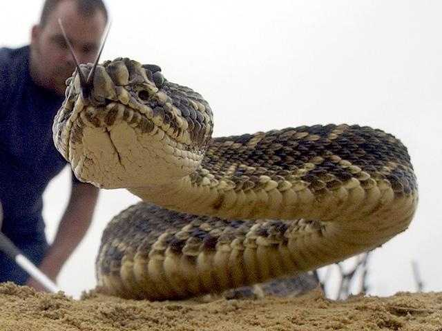 5. Recognize signs that a rattlesnake is about to strike: Most of us know that a rattlesnake in a coiled position is not one you want to mess with. However, you should also notice that when the snake's head is raised and its rattler is shaking, it has the potential to lash out. But be warned that not all rattlesnakes use their rattler to warn that it is about to strike.