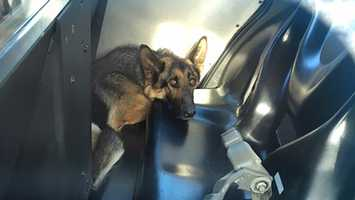 Freeway Frida sits in the back of a Galt police car after being collared by officers on Friday, May 13, 2016.
