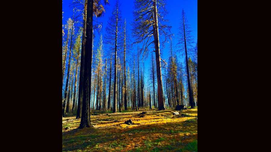 In places like the El Dorado National Forest, hunters search morel mushrooms.