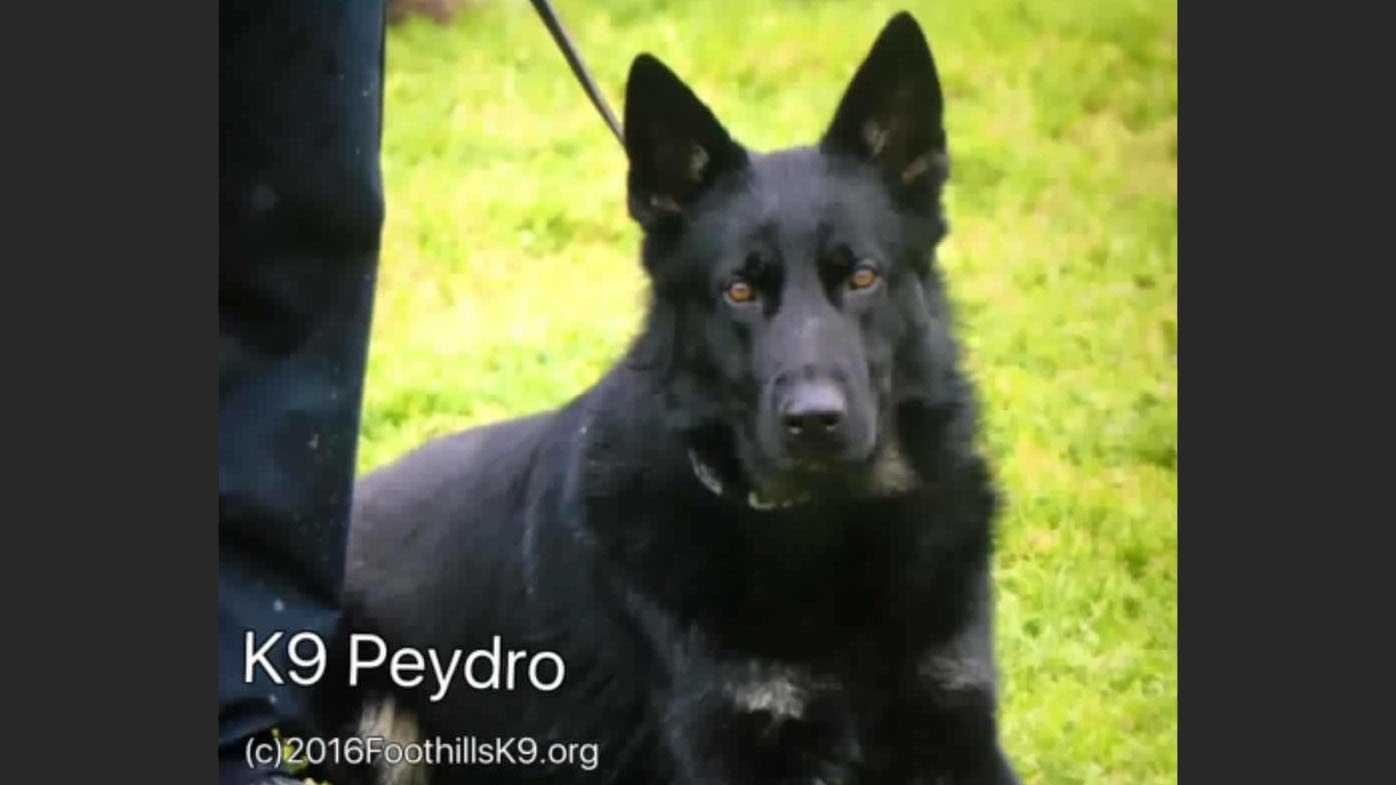 Woodland police K9 officer Peydro was hit by a car while in pursuit of a suspect.