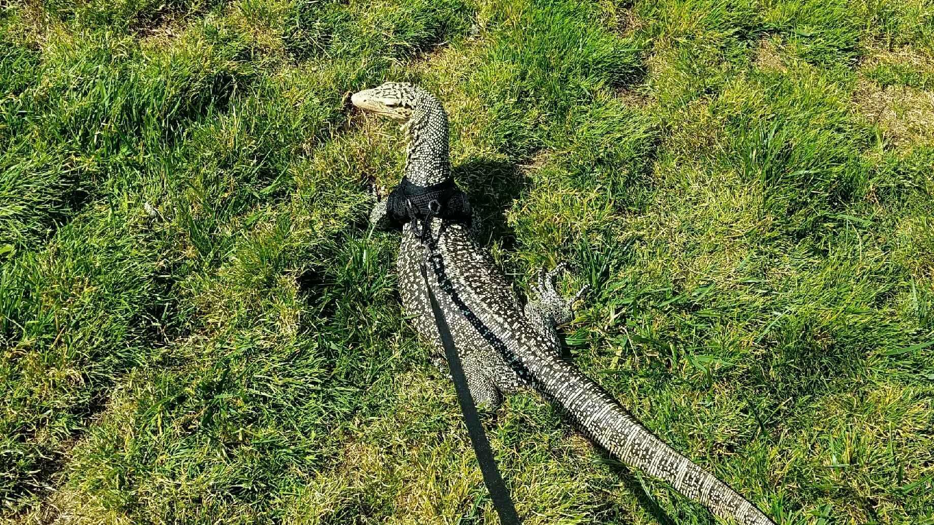Nae Nae the quince monitor lizard