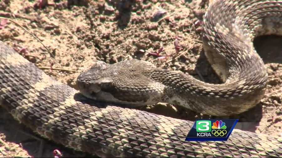 More snakes are slithering into backyards, and Galt police are warning residents to be more vigilant.