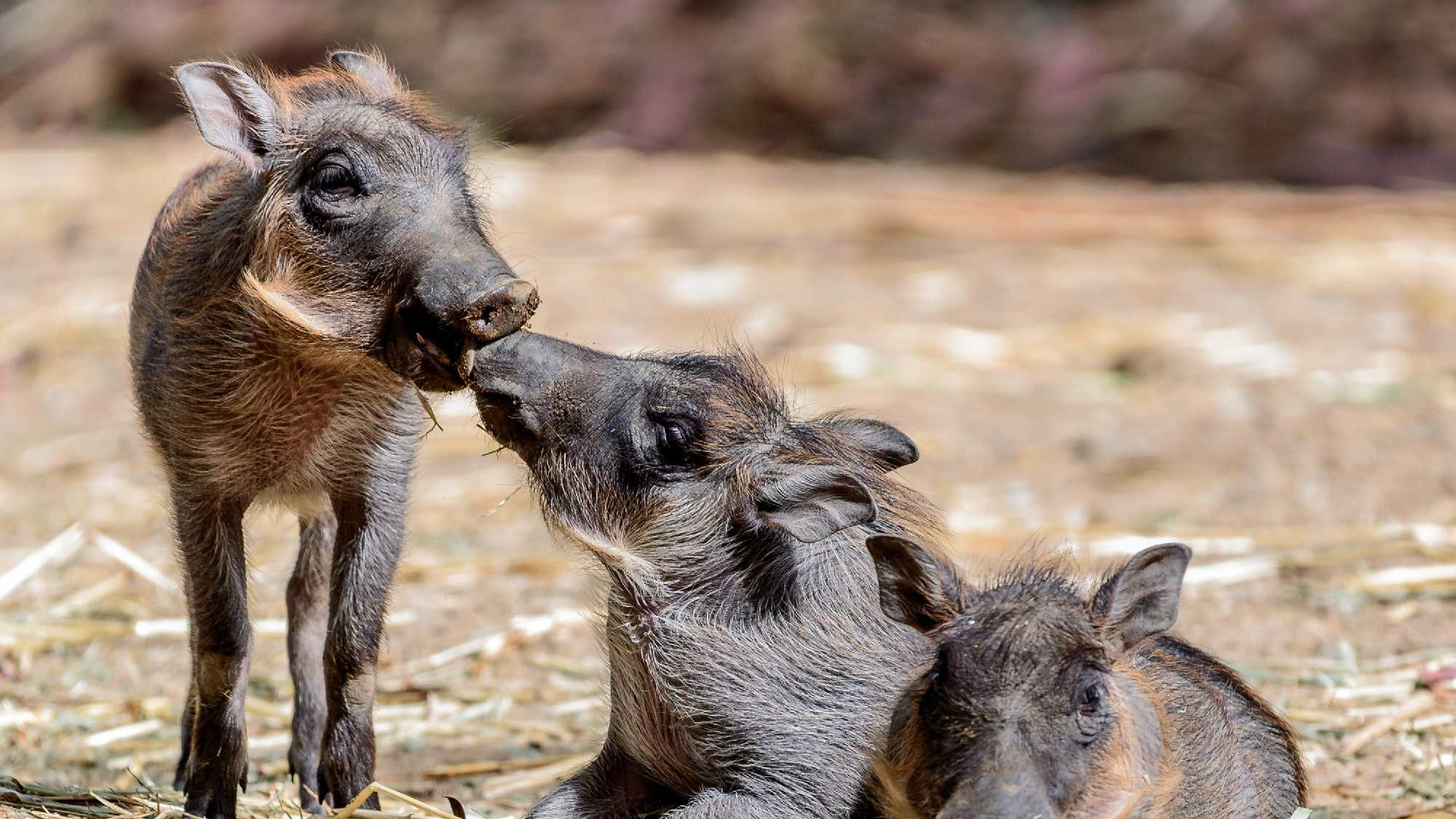 New baby warthogs will make their debut at the Oakland Zoo.