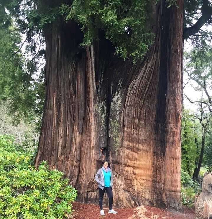 """Grandfather Tree is 1,800 years old, 265 feet tall and 24 feet in diameter! This tree, along with the One-Log House (see next slide) are located on Highway 101 in Piercy, near the Richardson Grove State Park.""--Dana Griffin, reporter"