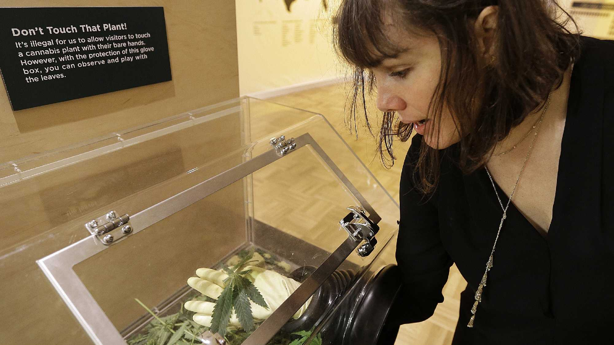 "In this photo taken on Thursday, May 26, 2016, Sarah Seiter, curator of the exhibit ""Altered State: Marijuana in California"" handles a cannabis leaf with gloved hands at the Oakland Museum in Oakland, Calif. Set against the backdrop of a California ballot measure in 2016 to legalize marijuana's recreational use, the exhibition features artwork, political documents and posters, scientific and interactive displays meant to provoke questions and conversations about pot."