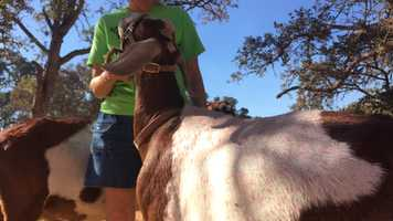 Goats were hit by pink fire retardant during the Stagecoach Fire battle.