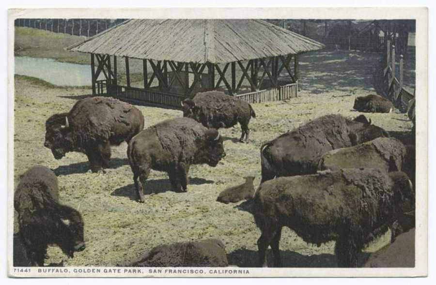 A postcard from the Detroit Publishing Company shows the buffalo of Golden Gate Park. The first buffalo were brought to the park in 1899 and three more were added from Yellowstone in 1905.