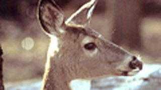 deer - 5133182
