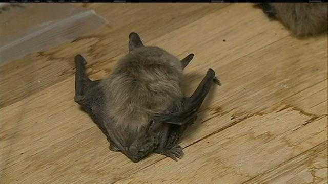 Animal control officials in Lincoln say the number of calls about bats has dramatically increased this year.