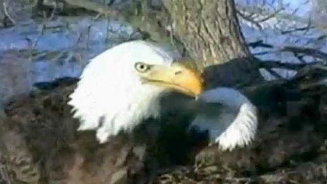 Millions of people around the world tuned in to watch the Decorah eagle eggs hatch last winter.