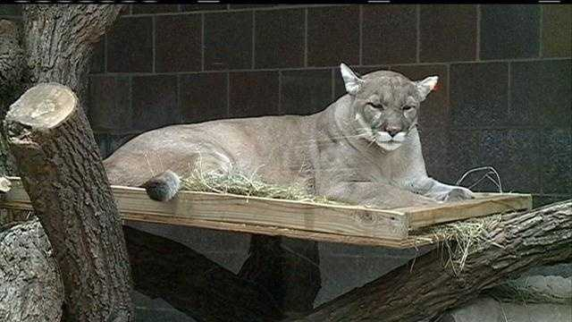 A landscaper reported seeing a mountain lion in Bennington on Thursday.