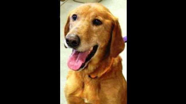 Dog eats tail goldie