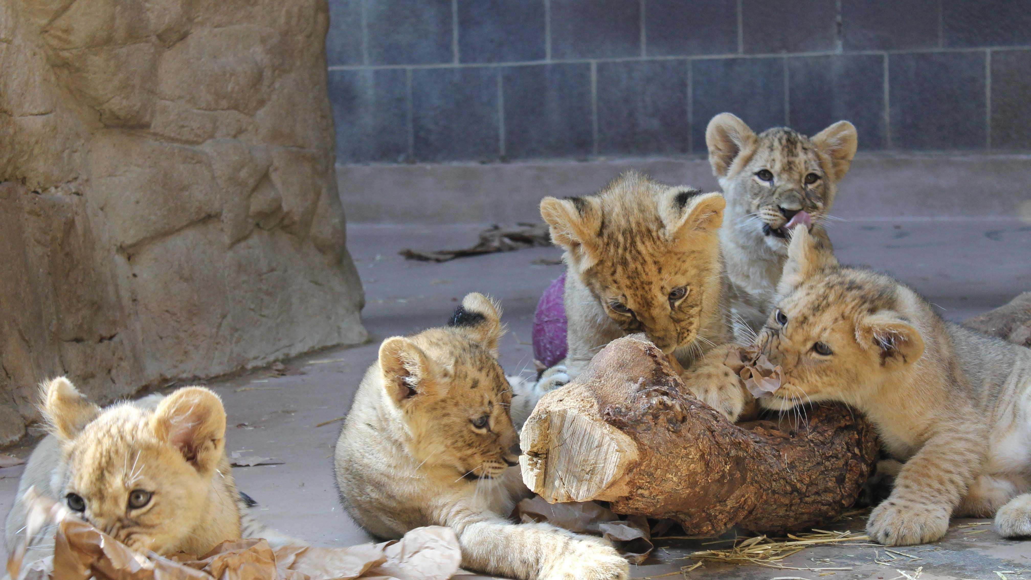 Lion Cub Names.jpg
