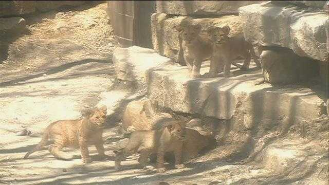 The new lion cubs at Omaha's Henry Doorly Zoo and Aquarium got to experience the outdoors for the first time Thursday.