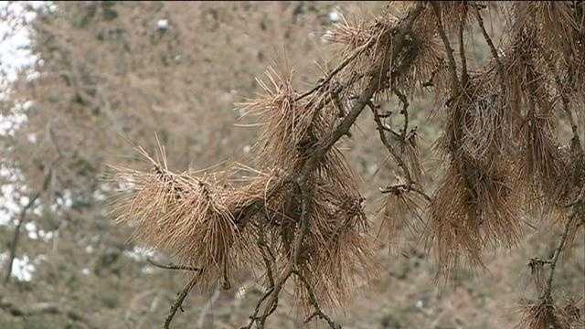 A microscopic creature is killing trees in Omaha neighborhoods, and experts say there's virtually nothing do be done about it.