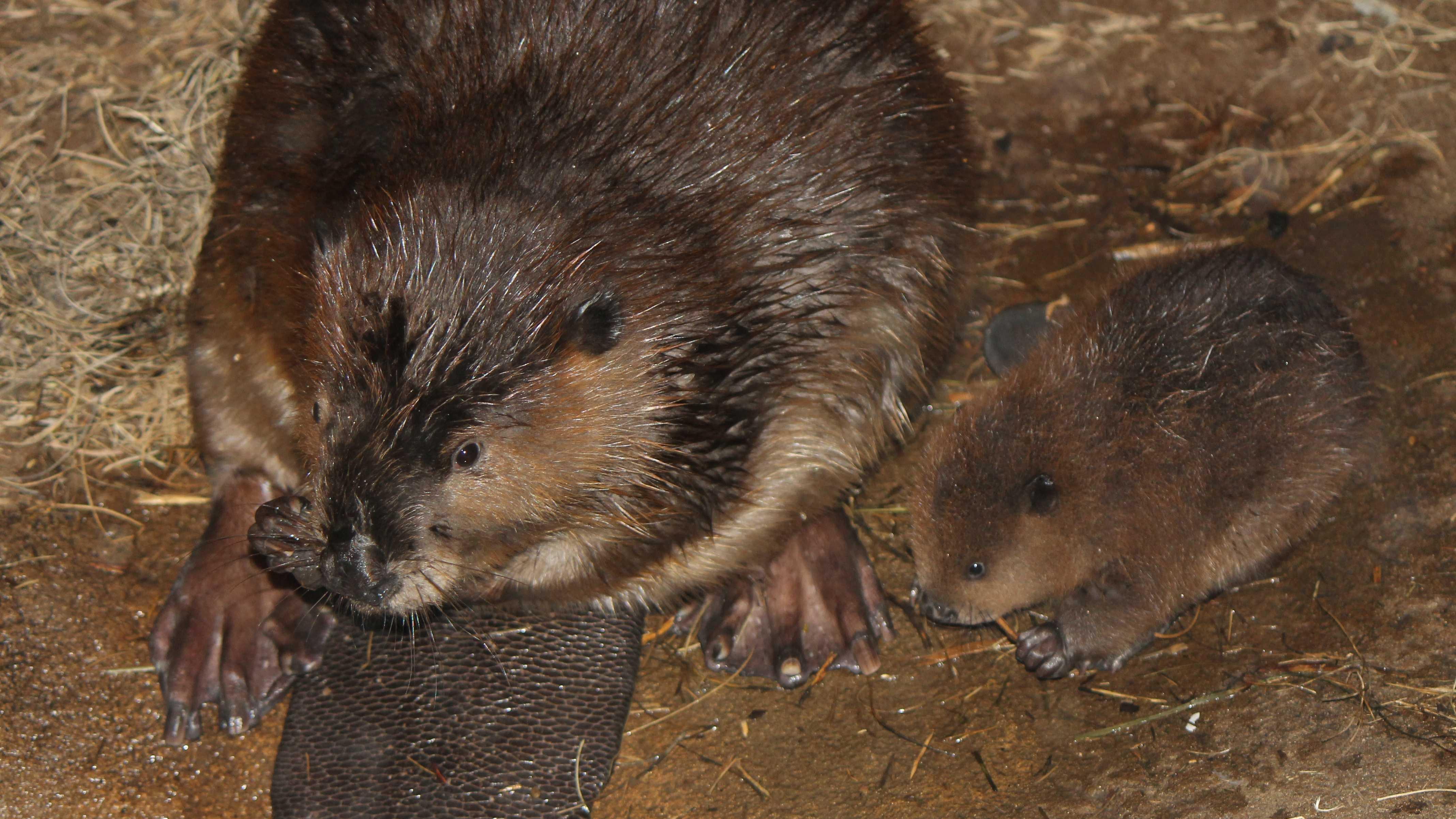 Beaver babies