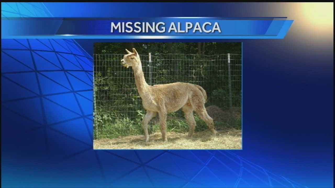 A Fort Calhoun family just wants its alpaca back safe after they say it was likely stolen from a section of fence that appears to have been tampered with.