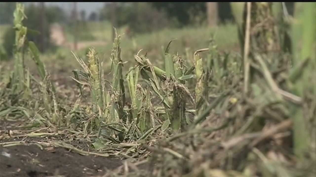 Farmers across a good section of the state are now playing the waiting game -- seeing just how much damage their crops took in Tuesday's storm.
