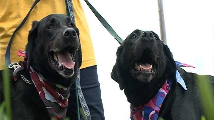 A special pair of labs are in need of a new home.