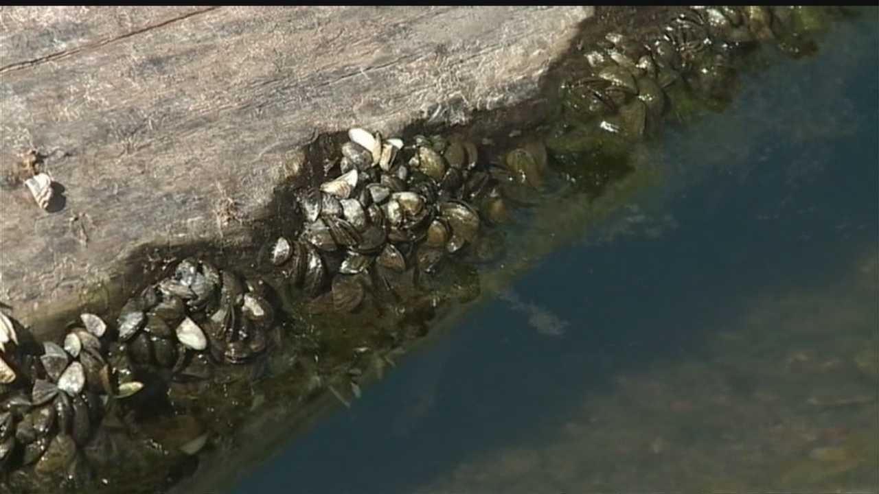 There's an experiment underway to help stop the zebra mussel.