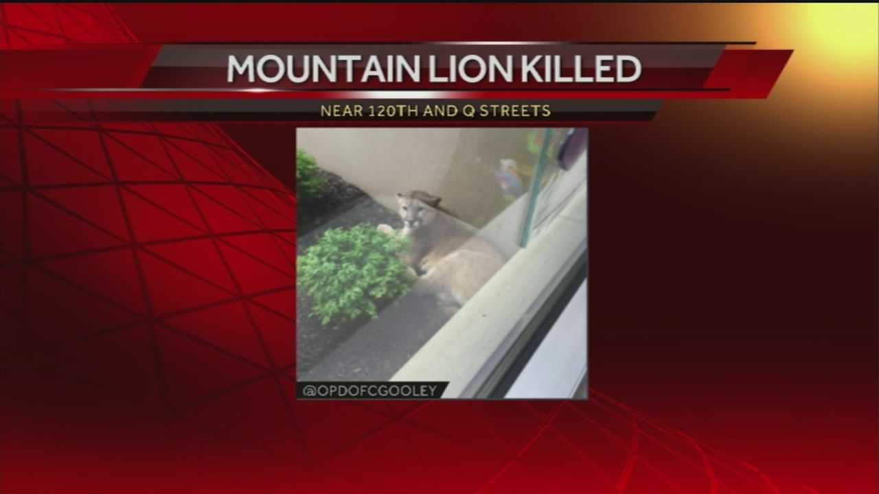 A mountain lion was found outside the Project Harmony office Wednesday night.