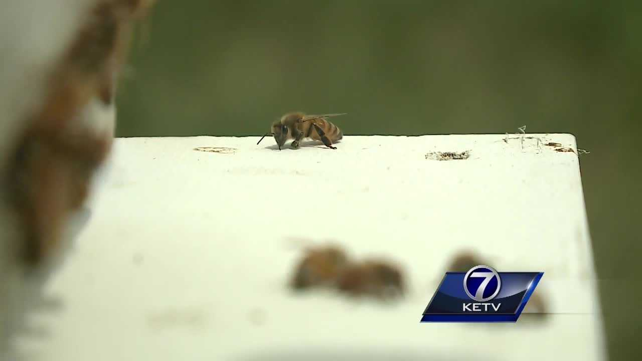 Anyone who happens upon a bee during their holiday picnic is advised to leave it alone. Local beekeepers are doing their best to protect them and rebuild populations lost to pesticides and disease.