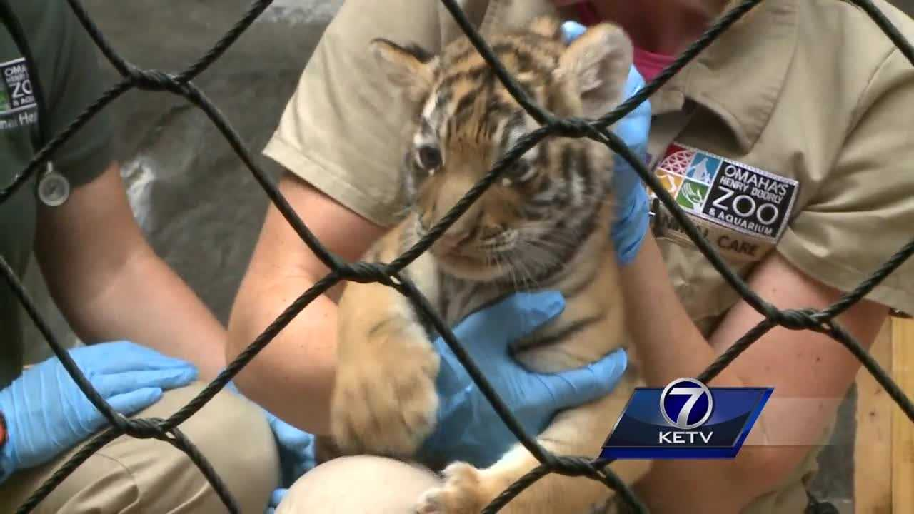 After turning six weeks old, these cubs are getting their first full check up.