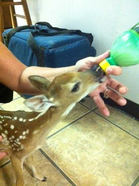 Dr. Gary Cox's deer at his vet clinic in Sallisaw.