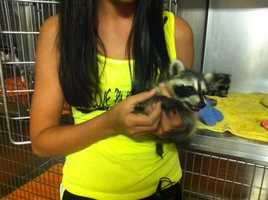 Dr. Gary Cox's daughter Katelynn with a raccoon at his vet clinic in Sallisaw.