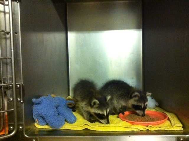 Dr. Gary Cox's raccoons at his vet clinic in Sallisaw.