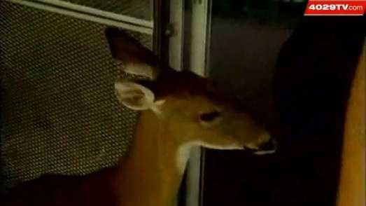 Sparky the Deer has lived as a pet in Springdale for more than 15 years.