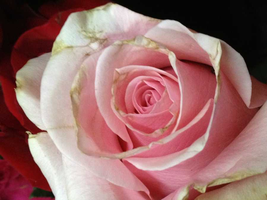 Light Pink: admiration, smpathy, gentleness, grace and sweetness