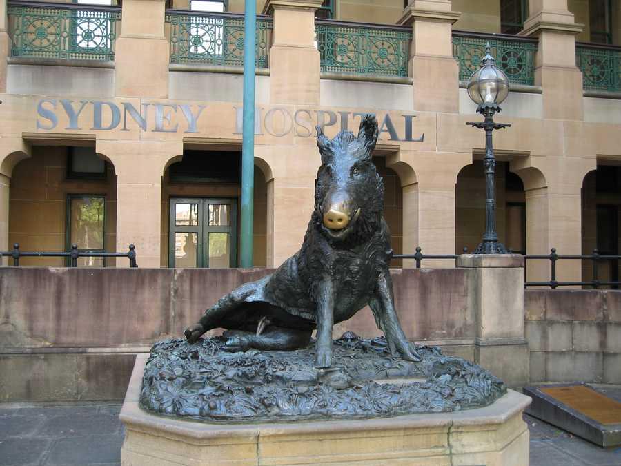 This razorback sits outside Sydney Hospital in Australia.